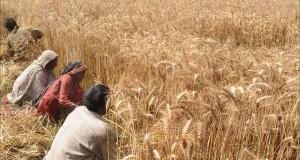 Pakistani farmers harvest their wheat cr