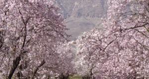 بهار در آخرین ماه زمستان؛شکوفه های خیر کننده مهارلو در سروستان+گزارش تصویری